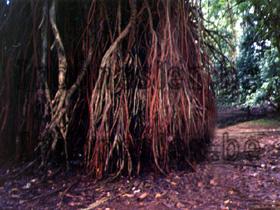 Banjantree in Bogor
